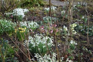 Snowdrops early