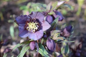Anemone plum